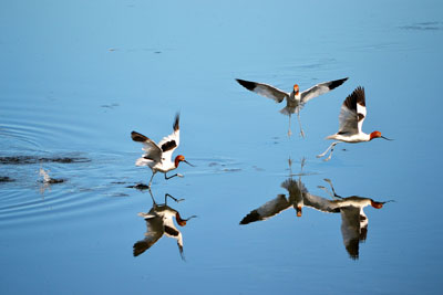 Water Birds at Yanchep Park