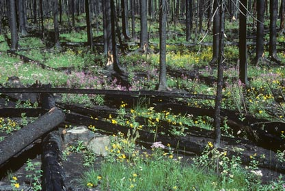 Forest regrowing after fire