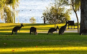 Yanchep Park and kangaroos