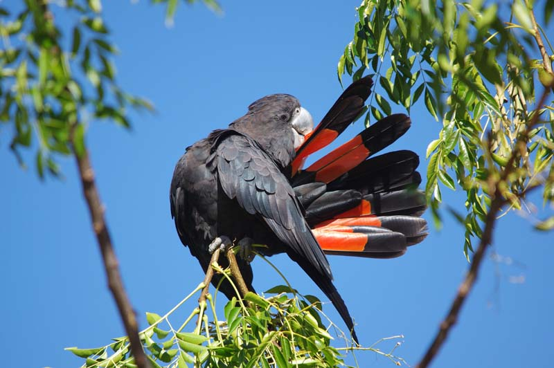 Gary Tate - Red-tailed black cockatoo